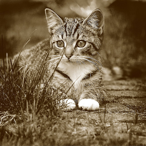 nekogatapusa:  kitten 2 by marzjon on Flickr.