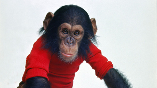 "Meet Nim Chimpsky. In the early 1970s, he was plucked from his mother's arms and transported into human homes in the hopes that he would learn sign language and open a window into ape thoughts. What actually happened is the subject of a new documentary, which David Edelstein calls ""brilliant."""