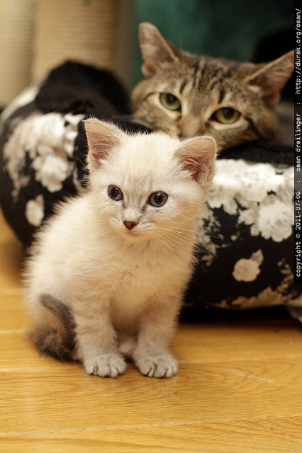 kittens hanging out together - snowball & babykitty - MG 5043.JPG by sean dreilinger on Flickr.