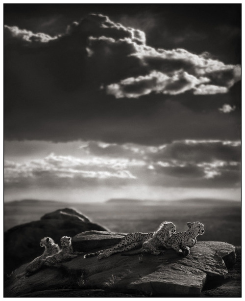 magicalnaturetour:  Cheetah Cubs Lying on Rock by Nick Brandt :)