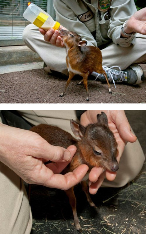 Royal antelope calf born in February 2011 at the San Diego Zoo, weighing just 17 ounces.
