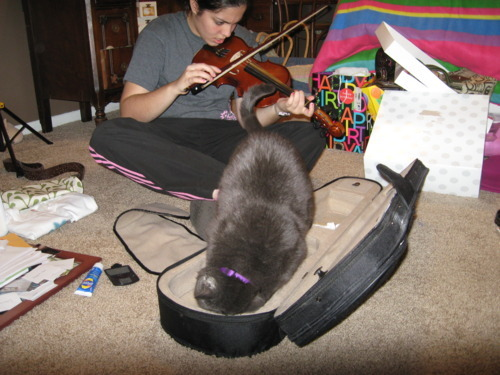 get out of there cat. that's a violin case not a kitty bed. just because the girl has the violin out and is playing it doesn't give you an excuse to sit in the case and rub all over it. she will not want a hairy violin the next time she decides to practice.