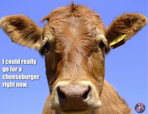 nosesplash:  mrgoldendeal said:   Cow Joke. Request your own joke HERE.