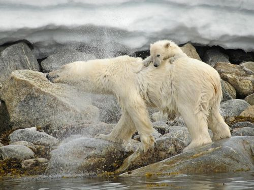From National Geographic:   As we watched from our Zodiac, this polar bear gave her cub a lift as she swam across the fjord, shaking herself dry after emerging from the water with her cub hanging on. Polar bear cubs have been known to occasionally ride on the backs of their mothers as they swim together in Arctic waters, possibly to reduce exposure to cold.  - Philip Dien