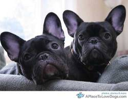aquiggle: French Bulldogs Augustus and Zoey curious Original Article