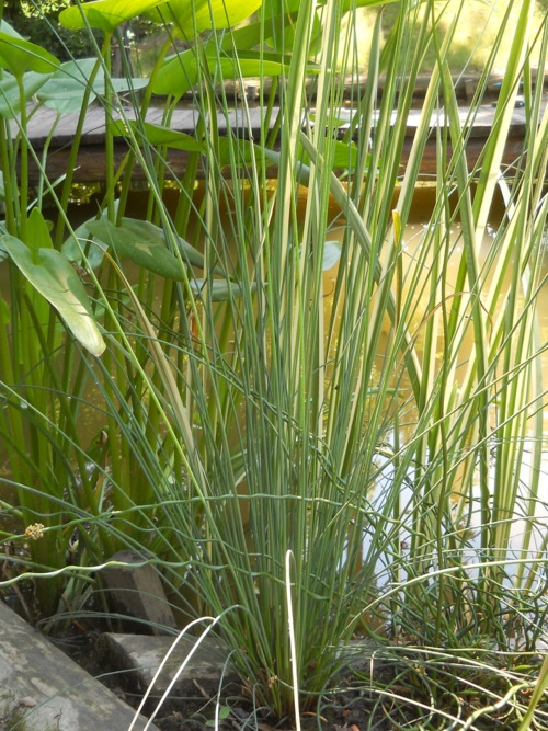 Juncus inflexus - Blue arrow grass Grown from seeds gathered in the Jardin des Plantes, the botanical garden of Paris.  I love that place!
