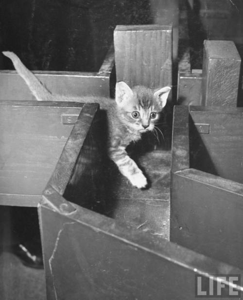 Buggy kitten eyes! Nina Leen, [Kitten walking through a maze during psychological testing at Brooklyn College], 1941. Source: LIFE Photo Archive, hosted by Google.