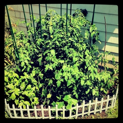 Garden's going crazy in this weather! So many tomatoes! (Taken with instagram)