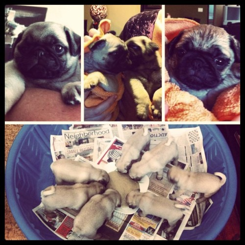 Picking out and bathing our new Pug puppies! They arrive on the 26th! (Taken with instagram)