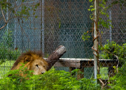 On a hot summer afternoon, Thomas Lion is not amused by the crowds who wish to see him.
