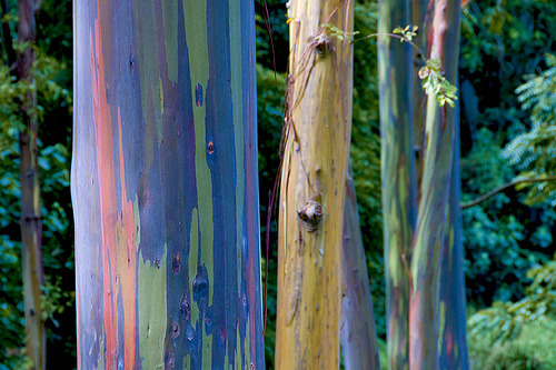 orientaltiger:  Rainbow Eucalyptus, is the only species of eucalyptus that grows in the northern hemisphere  and is normally grown for its pulpwood, used to create white paper. But  why does it look like it's been painted?  The secret behind the Rainbow  Eucalyptus is that the trees shed multiple patches  of bark every year, but not at the same time. As the patches are gone,  the green inner bark is exposed, and as it matures it turns bluish, then  orange, purple and maroon. This creates the rainbow effect.