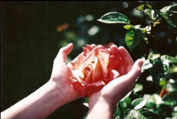 a rose in the hand…
