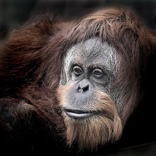 goodworldgames:  Orang Utan by iPhotograph on Flickr. Fruit makes up 65-90% of the orangutan's diet. This guy looks like he enjoys a good pineapple.