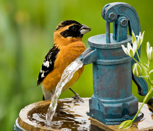 Black Headed Grosbeak  by ClassyShots (Mike) on Flickr.