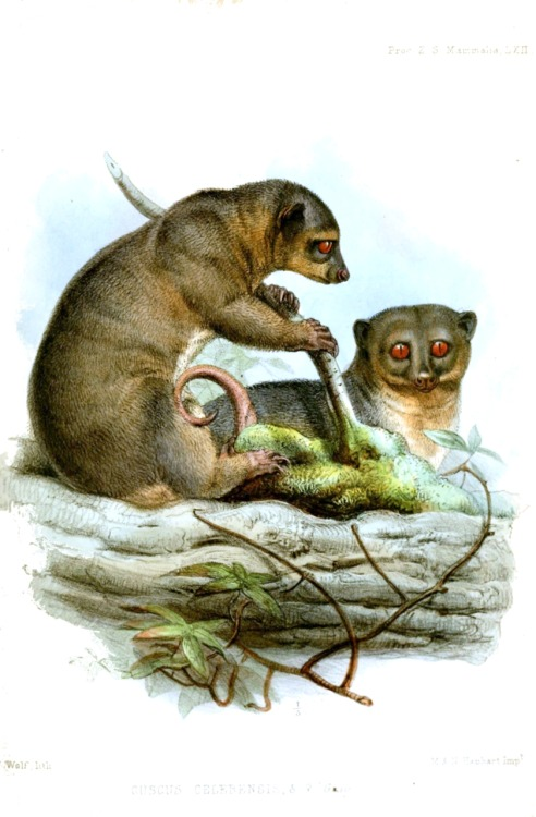 The Sulawesi Dwarf Cuscus (Strigocuscus celebensis) is a species of marsupial in the family Phalangeridae.[2] It is endemic to Sulawesi and nearby islands in Indonesia. (via: Wikipedia) (image: from the Proceedings of the Zoological Society of London, 1858, Joseph Wolf)