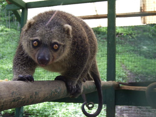 The Sulawesi Bear Cuscus or Sulawesi Bear Phalanger (Ailurops ursinus) is a species of marsupial in the family Phalangeridae. It is endemic to Sulawesi and nearby islands in Indonesia. Its natural habitat is subtropical or tropical dry forests. (via: Wikipedia) (photo: Sakurai Midori)