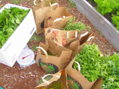 Today, we harvested 12 pounds of fresh, organic produce from our school garden.  Romaine, spinach, strawberries, jalapenos, mint, oregano, chives, parsley and flowers were donated to the Everett Food Bank.