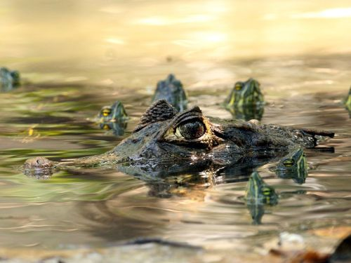 Caiman and Turtles by National Geographic