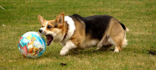 corgiaddict:  This is a rare photograph, depicting a corgi mid-strike. Little do people know that a corgi is actually an extremely sophisticated weapon of destruction, with a dynamically unstable frame that morphs into an optimal attack position whenever the need manifests. Such as GETTING THAT FREAKING BALL. Submitted by Tagz and Erena.