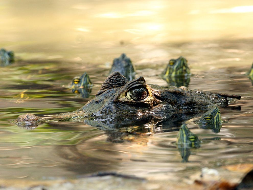 A Great Photo of a Caiman (Type of Crocodile Species) and some turtles wading around in some water harmoniously. Gotta love Nature….