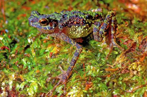 posthorn:  One of the first-ever photographs of the Borneo rainbow toad, a species that hasn't been seen for 87 years. Prior to the toad's rediscovery, the only image scientists had was an illustration from the 1920's.