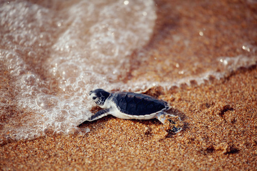[image description: a black-shelled baby turtle scuffling along the sand into the sea.]  TURTLES ARE SUPER IMPRESSIVE, GUYS BREAKING OUT OF THOSE EGGS AND HEADING FOR THE SEA IN THEIR FIRST SECONDS OF LIFE THEN OUT IN THE OCEAN THEY SWIM AROUND, DOING THEIR OWN THING AND LIVING FOR HUNDREDS OF YEARS KEEP ON ROCKING, LITTLE DUDES.