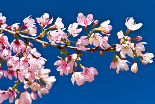 Cherry Blossom by Thelma Gatuzzo on Flickr.