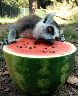 A lemur eats from a refrigerated watermelon to refresh itself in  Rome's zoo, July, 12, 2011. Zoo staff offered animals frozen and  refrigerated fruit to refresh them as temperatures reached 104  Fahrenheit. (Rome Bioparco Fundation/AP Photo)