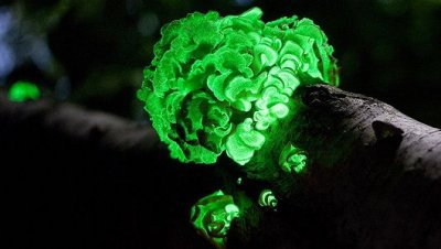 wnycradiolab:  mothernaturenetwork:  Glow-in-the-dark mushroom rediscovered after 170 yearsSpotted once in 1840 and then never seen again, one of the world's most bioluminescent mushrooms has been rediscovered deep in the Brazilian wilderness.  This article is from last year, but somehow I missed it!  I hate falling behind on my bioluminescence news.