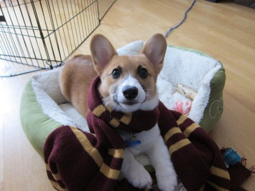 Gryffincorgi, the unknown house of Hogwarts! Our little Moose is pretty magical. If a corgi were to have a patronus, would it be a human or… another corgi? Submitted by Shay A corgi patronus would be a sausage with legs. Sausage with legs is their true inner spirit nominal.
