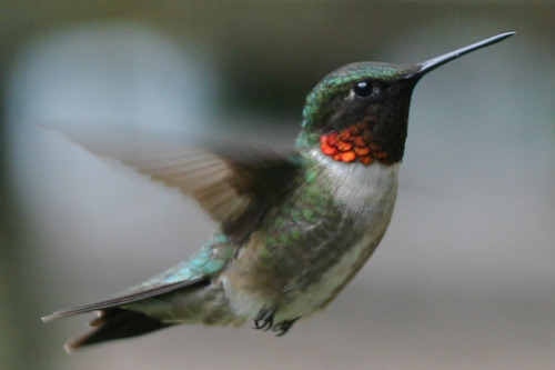 Ruby-throated Hummingbird (Archilochus colubris) at a feeder in New York