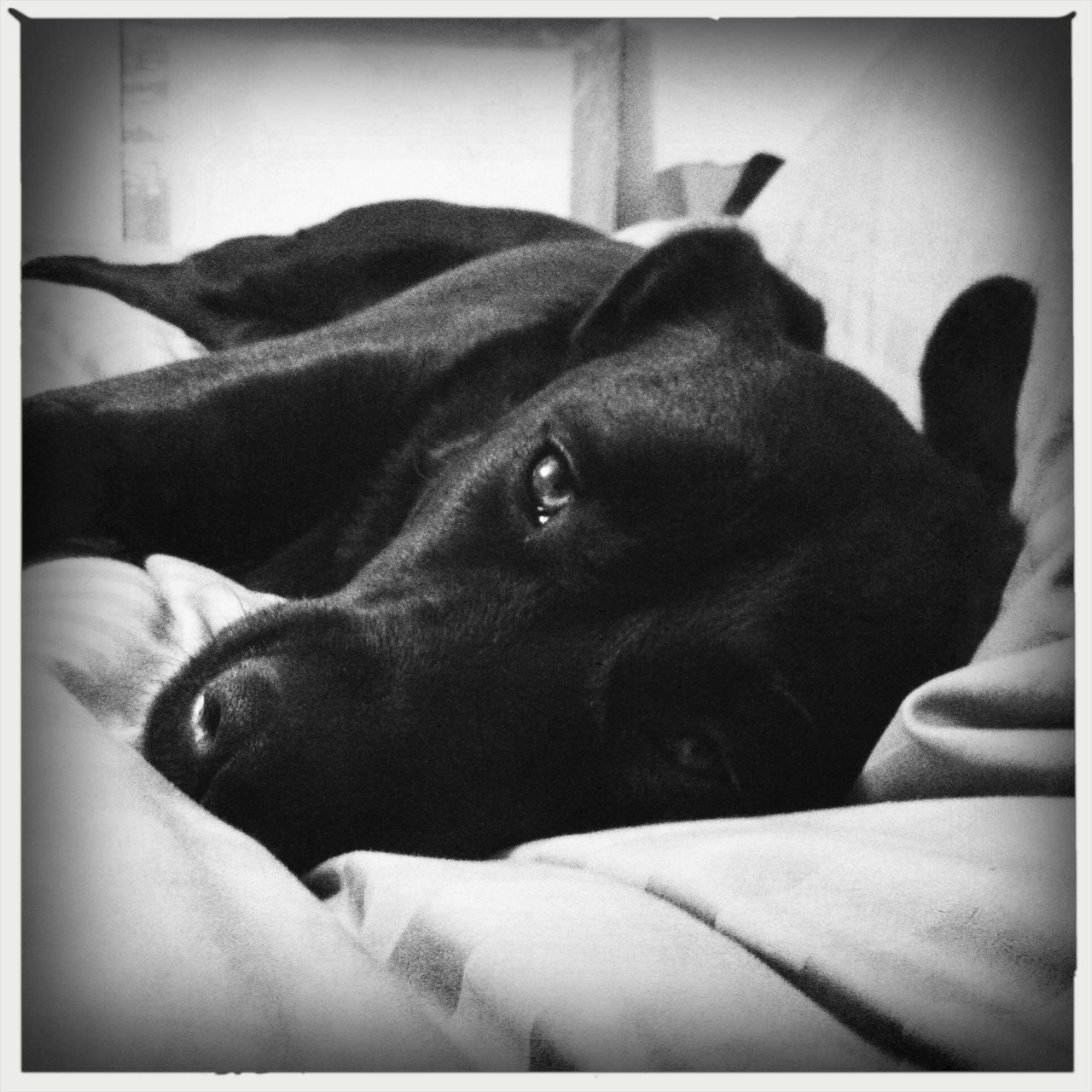 Pooped Pup Taken with Hipstamatic, Melodie Lens and AO BW Film, no flash.