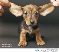 topit.me Little Dachshund puppy with the best ears! Original Article