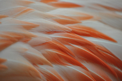 tammy-degray:  Flamingo Feathers (by Jaimie Rose)