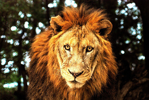 theanimalblog:  Lion face (by floridapfe)