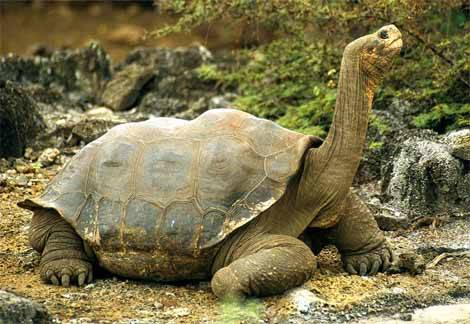 The Galápagos tortoise  The is the largest living species of tortoise, this animal can reach a length of almost 6 feet and weigh up to 880 pounds! This reptile can live to be 100+ one of the longer living animals on the earth! The tortoise is native to seven of the Galápagos Islands, a volcanic archipelago outside of  Ecuador. These tortoises are herbivores that consume a diet of cacti, grasses, leaves, and berries. They will eat up to 70-80 pounds of food A DAY! They have also been documented to feed on Hippomane mancinella ('poison apple'), and that's pretty bad ass to be able to eat poison apples. Watch out snow white. Tortoise numbers declined from over 250,000 in the 16th century to a low of around 3,000 in the 1970s. these numbers got so low because people were hunting for tortoise meat and oil, habitat clearance for agriculture, and introduction of non-native animals such as rats, goats, and pigs. 7 subspecies of the original 10 survive in the wild. in efforts to preserve these animals, organizations have been wiping out the unnatural animals like goats completely out of these islands so that these tortoises' food sources are not extremely depleted by these alien animals [a more modern problem as to their lower population numbers.. poor things are just starving to death not being hunted]. During the 20th century many of these turtles were bred in captivity and released back into the wild and it is estimated that numbers exceeded 19,000 at the start of the 21st century [as of 2009]. With slow growth rate, late sexual maturity and island endemism make the tortoises particularly prone to extinction without the efforts of conservationists. Even with this awesome rebound in population to be a little bit closer to the number the tortoise population should be this species is still classified as Vulnerable These tortoises are gentle giants that really need people's help to stay at a healthy population rate. The Galápagos giant tortoise is now strictly protected and is listed on Appendix I of the Convention on International Trade in Endangered Species of Wild Fauna and Flora.
