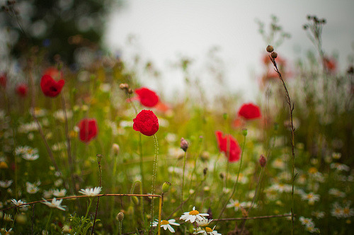 prettylittleflower:  Poppies and daisies (by Paisley patches (coming and going))