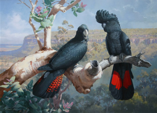 wanderingfalcon:  Black Cockatoos by William T. Cooper
