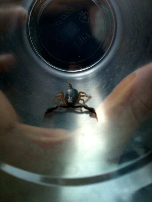 We found this scorpion in our beds last night #kohlanta#crazy #scary