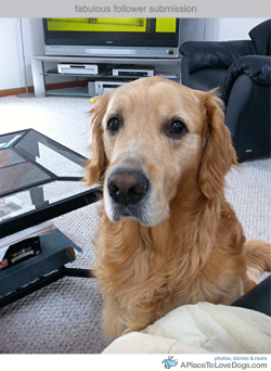 Submitted by ayuhhhbuck: This is my seven and a half year old Golden Retriever, Duce! He was a Christmas present to me from my parents quite a while ago, and we knew he was the one when he ran up to my dad and untied his sneakers! Goldilock's Golden Retrievers in Bristol, PA definitely gave me the best present ever, and I'd recommend them to anyone with the money! He still hasn't slowed down a bit, and he is, by far, the best thing that's ever happened to me! Original Article