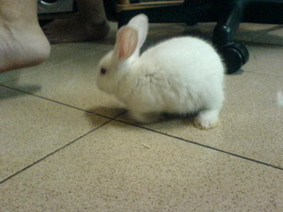 naitan submitted:  a baby picture of my pet Lelei.  beautiful bunny :)