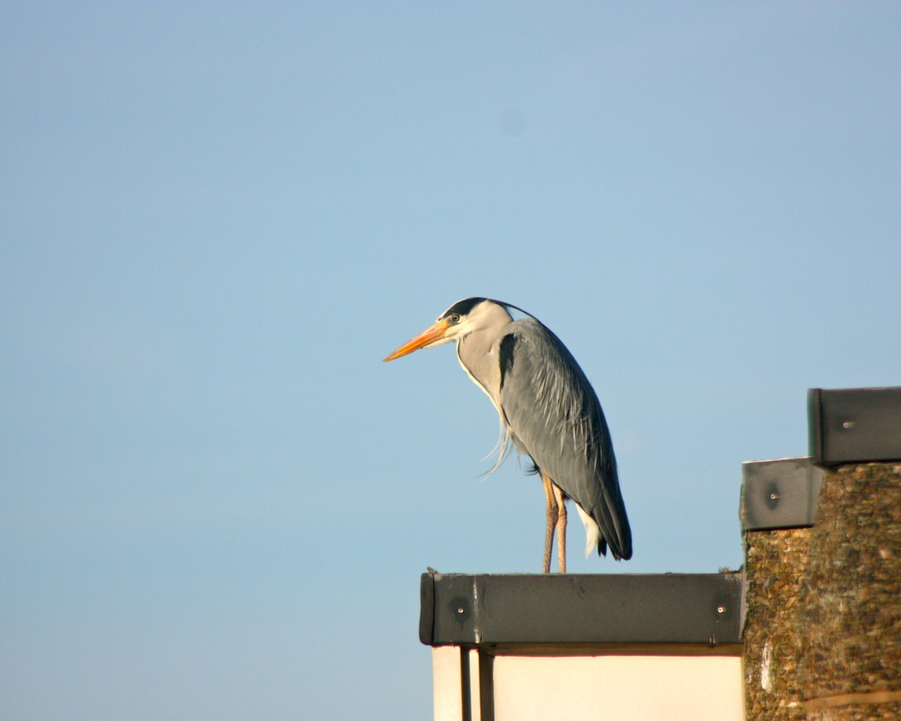 Heron on a hot tin roof. This chap (or chapette for all I know) often sits on the top of this apartment window in Battersea, southwest London, studying the fish pond below. I'm curious; do any of you know which type of heron this is?