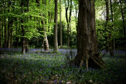 Copse with bluebells (Photo: Dan Kitwood/Getty.)