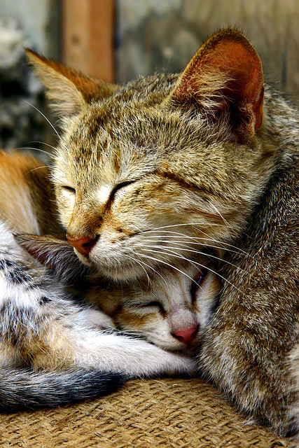 Kitten Pillow- Catnapping by jamestraceur on Flickr.