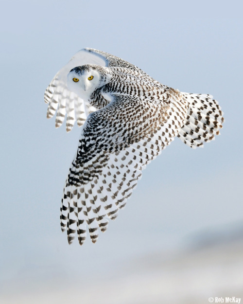 "thesaurusrexx:  (via 500px / Photo ""Snowy Owls Look"" by Rob McKay)"