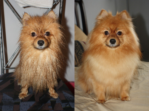 Angel's before and after photo… and like the good girl that she is, she doesn't move to have her photo taken. angelandchaos: