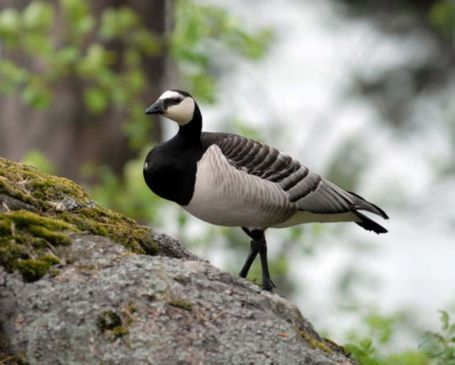 Barnacle goose Photo: Sören Lindén.