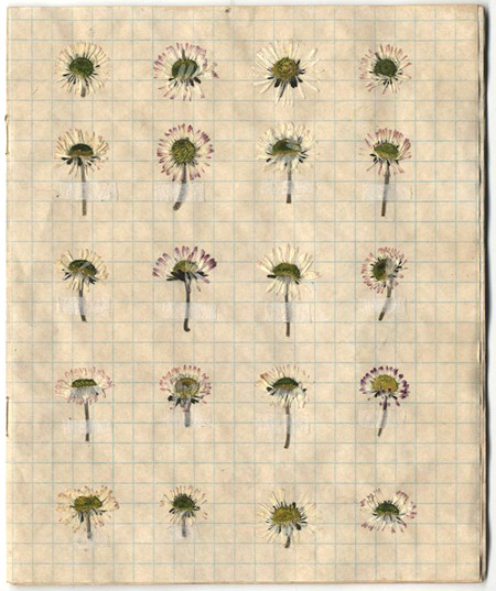 lynnettemiller: Tea stained exercise book containing pressed daisies from different locations.