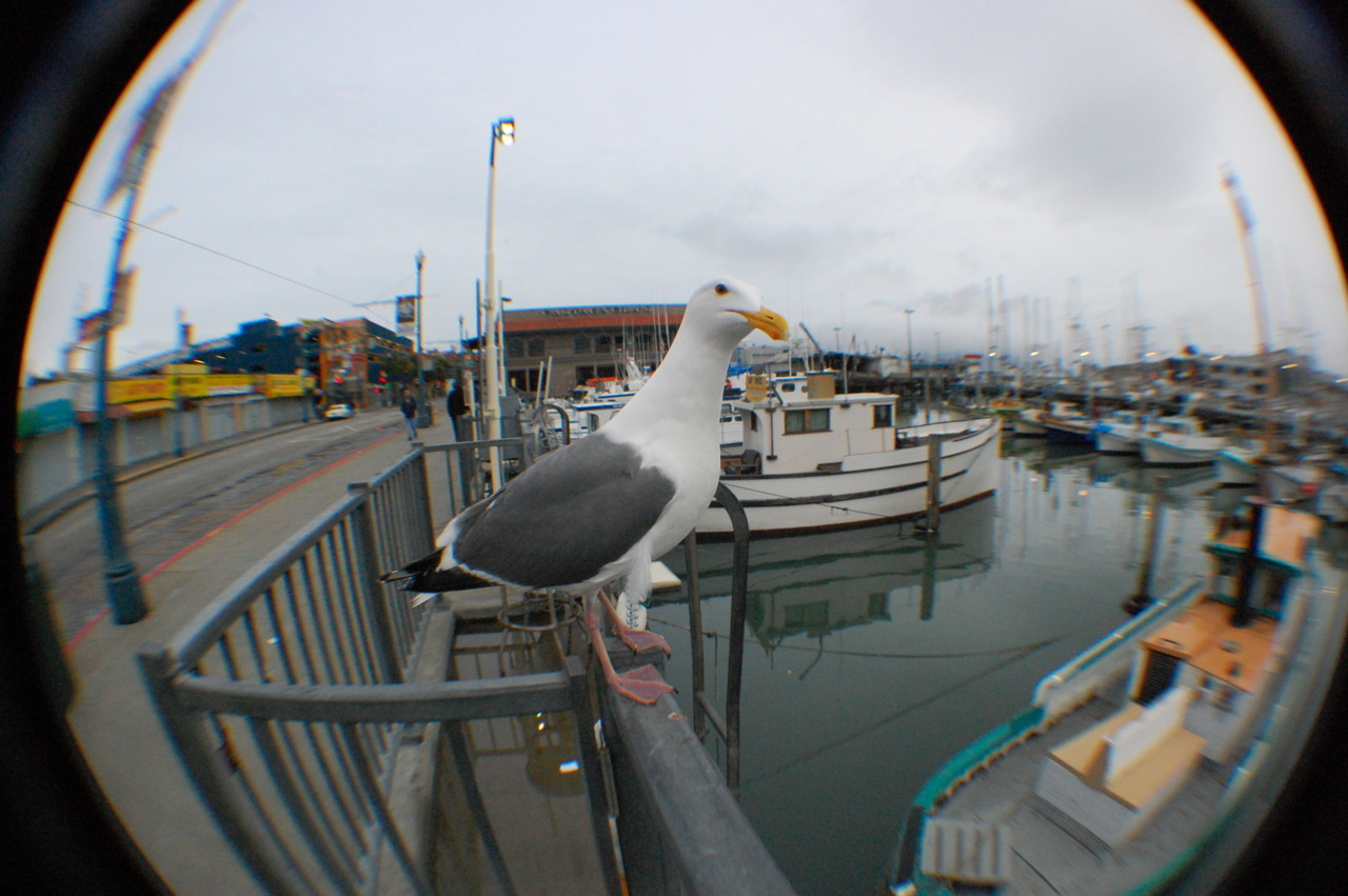 San Francisco Seagull