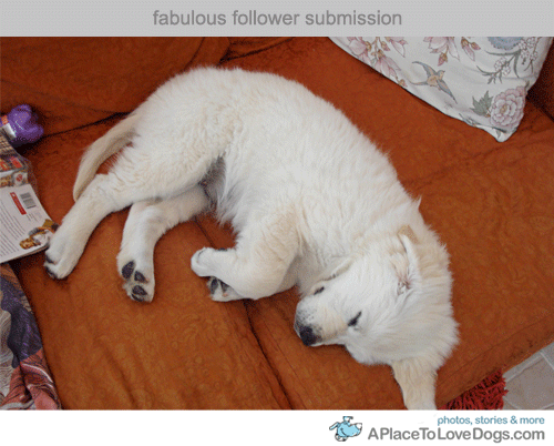 Submitted by Aoife L: My 11 week old Golden Retriever puppy Luna, fast asleep on the couch  after a long day of puppy fun! She is now three years old, much much  bigger and still as loopy and as crazy as ever!!! Original Article